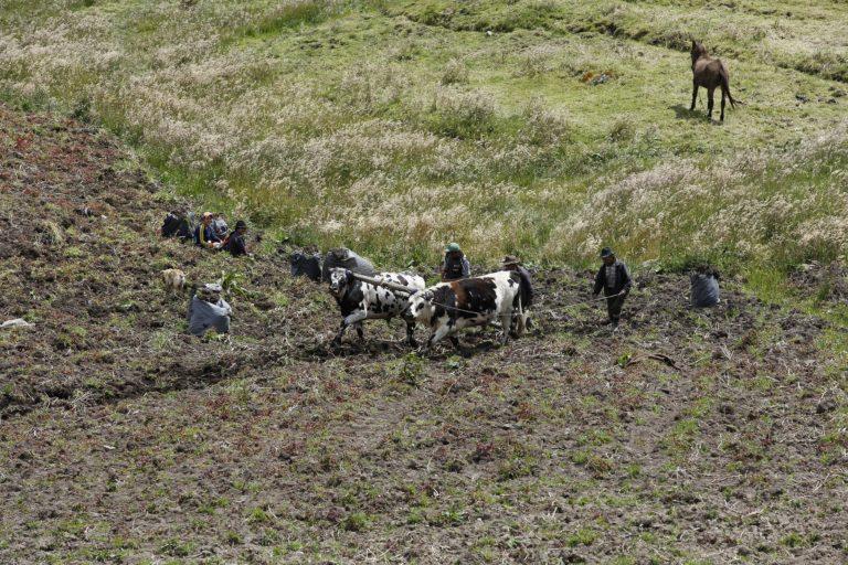La ganadería y los cultivos de papa conviven en el Páramo de Pisba. Foto: Daniel Reina Romero-Semana Sostenible.