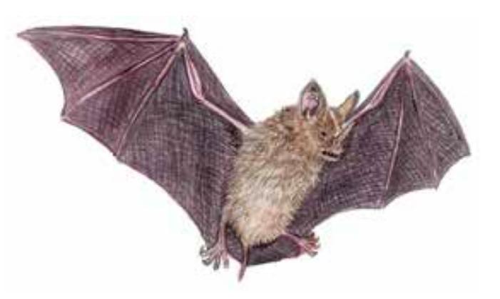 Es una especie de distribución restringida que habita en el departamento de Ayacucho. Fuente: Libro rojo de fauna silvestre amenazada en Perú / Serfor.
