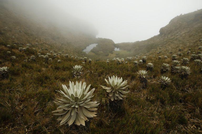 Los frailejones son plantas típicas de los ecosistemas de páramo. Foto: Daniel Reina Romero-Semana Sostenible.