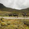 Muchos de los habitantes del Páramo de Pisba dependen de la pequeña ganadería. Foto: Daniel Reina Romero-Semana Sostenible.