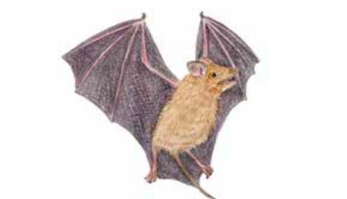 Murciélago de cola libre incaico es una especie endémica que habita en el Santuario Histórico de Machu Picchu. Fuente: Libro rojo de fauna silvestre amenazada en Perú / Serfor.