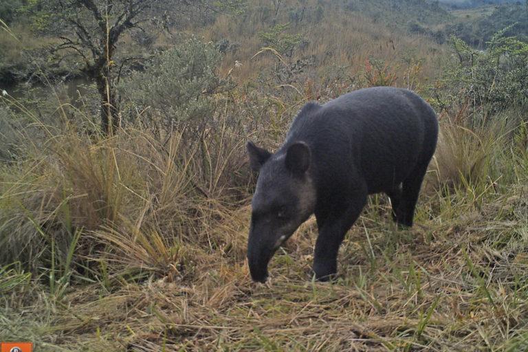 Tapir andino. Foto: WWF.