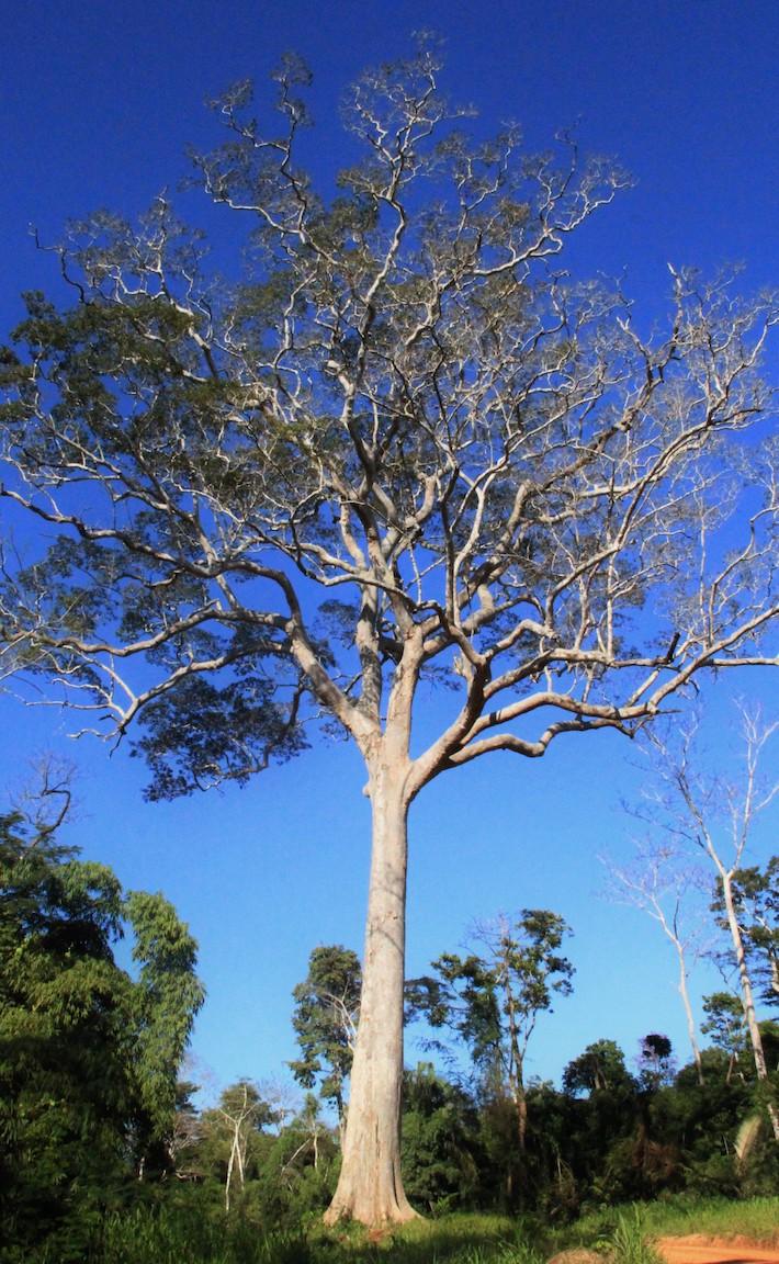 En la concesión forestal de Madreacre, en el distrito de Iñapari, Madre de Dios, se conserva este árbol de shihuahuaco como símbolo de la biodiversidad. Foto: Vanessa Romo / Mongabay Latam.