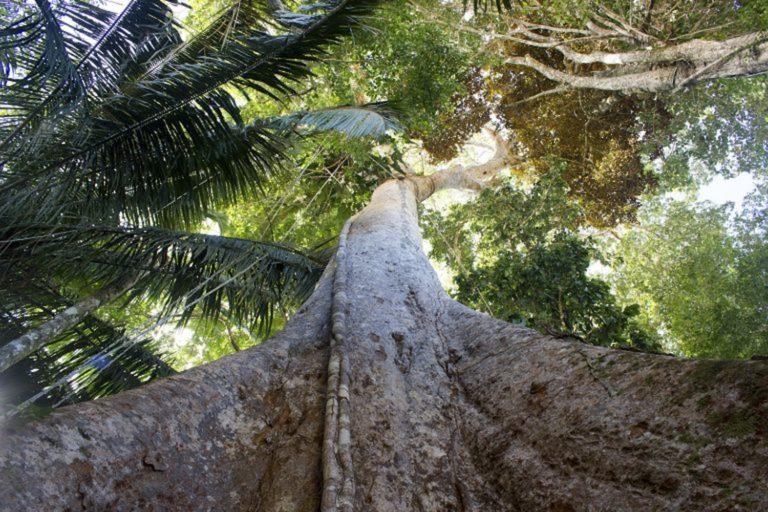 El shihuahuaco es especie en riesgo buscada por los taladores ilegales. Foto: Gianella Espinosa / Arbio Perú.