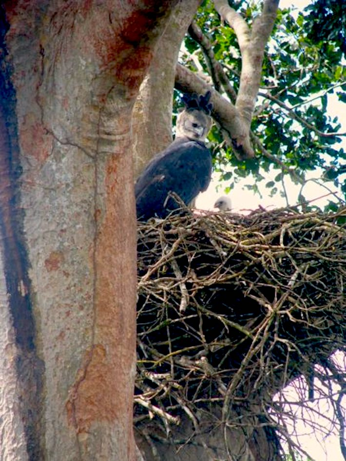 A harpy eagle nesting in a shihuahuaco tree. Image courtesy of Antonio Fernandini.