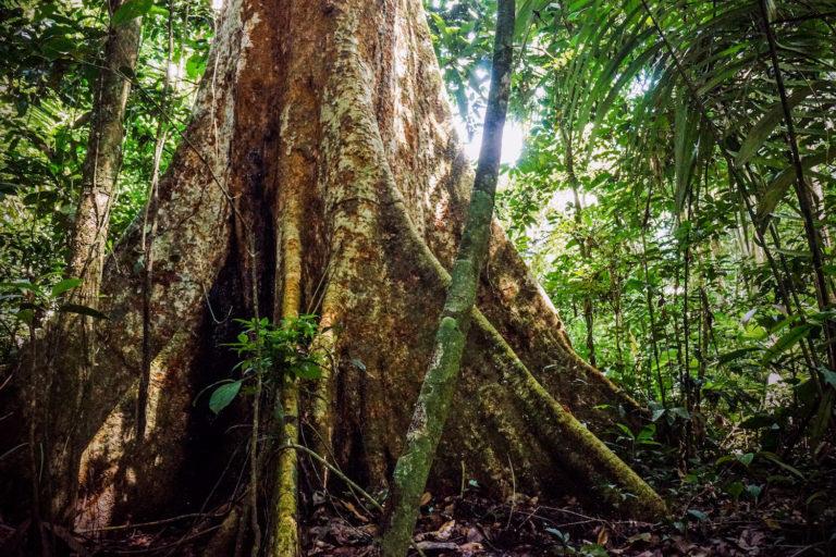El shihuahuaco, un árbol milenario caminoa la extinción.