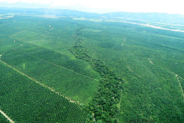 Vista aérea de grandes hectáreas de cultivo de palma de aceite. Foto: Lain Pardo.