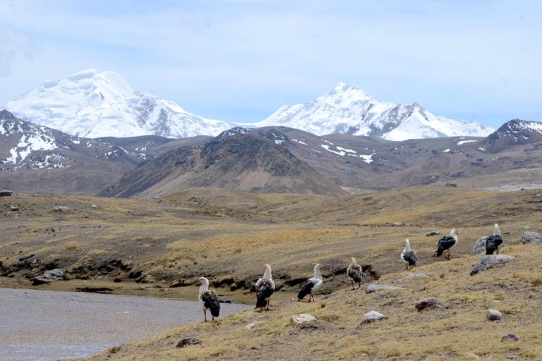 Es común ver huallatas cerca de las laguna al pie del la cadena de nevados del Ausangate. Foto: Yvette Sierra Praeli.