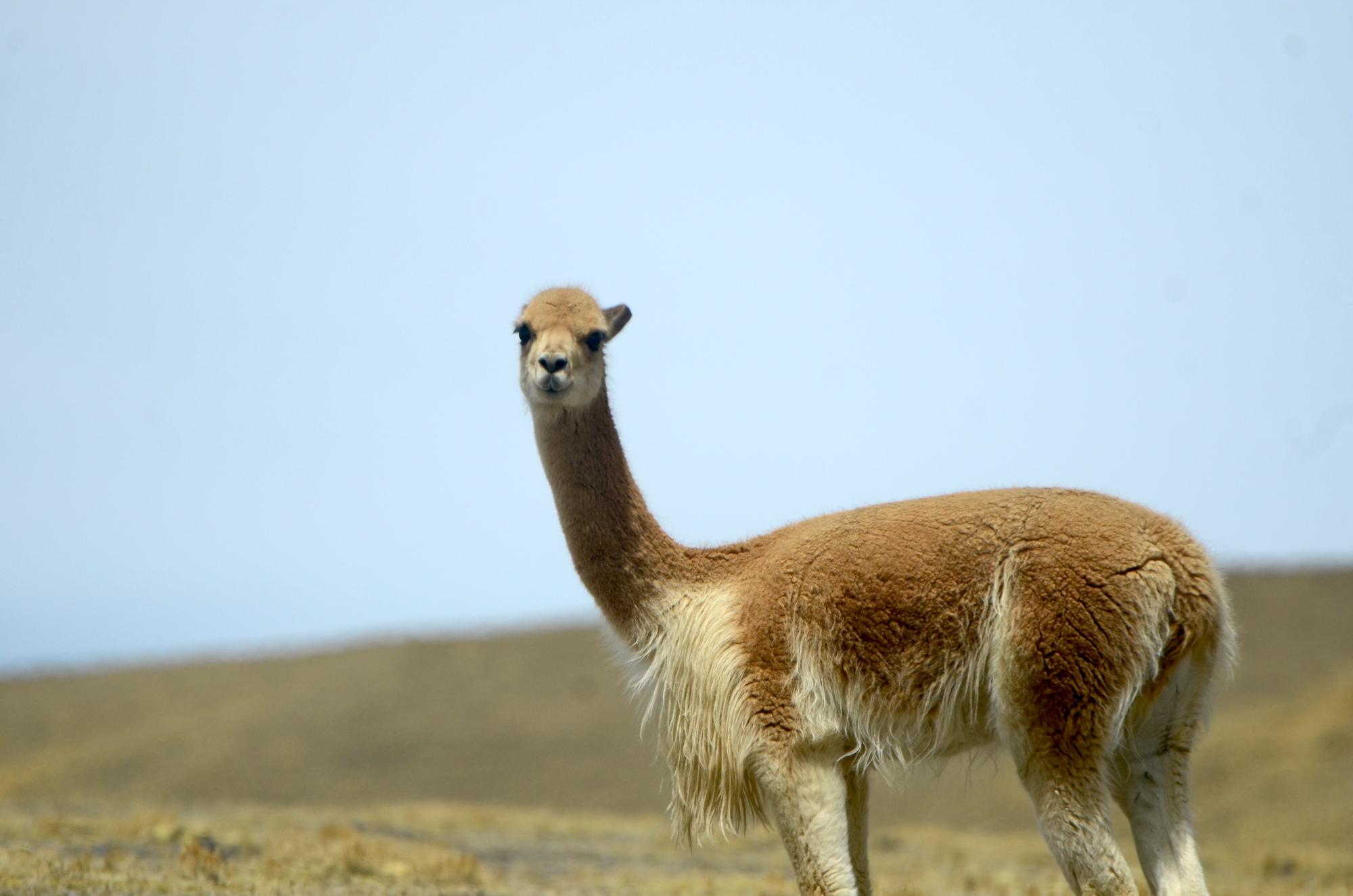 Las vicuñas pastan tranquilas en la puna dentro del territorio propuesto como ACR Ausangate. Foto: Yvette Sierra Praeli.