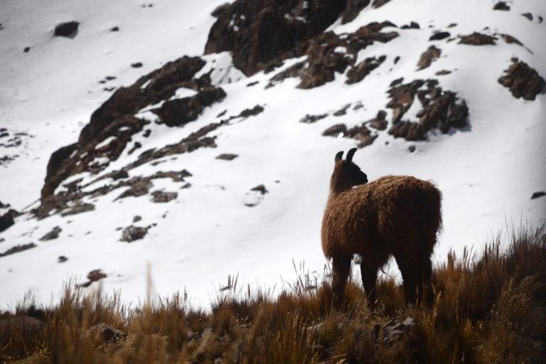 Alpacas y vicuñas pasean libres en los nevados de la nueva Área de Conservación Regional Ausangate. Foto: Yvette Sierra Praeli.