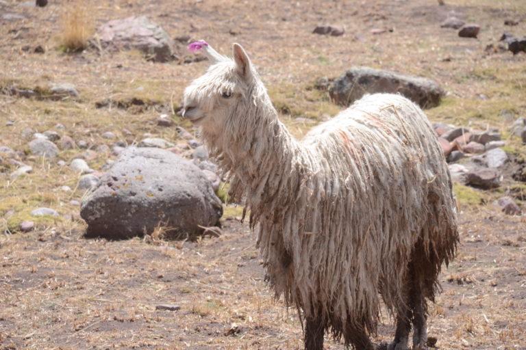 Alpaca de la especie suri, cuya lana cuesta 16 soles por libra en el mercado peruano. Foto: Yvette Sierra Praeli.