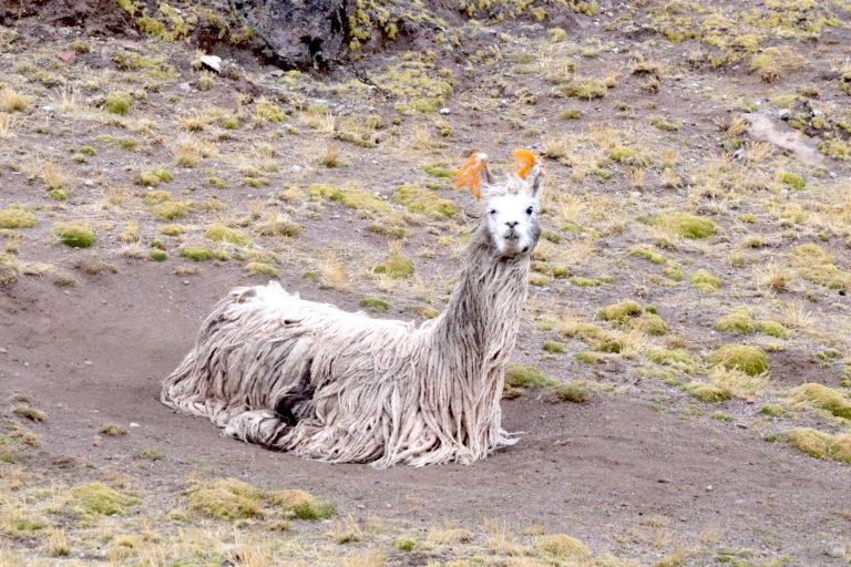 Las alpacas suri están entre las más cotizadas del mercado peruano e internacional. Foto: Yvette Sierra Praeli.