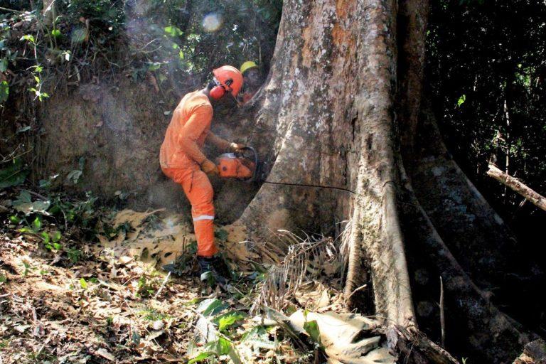 Árboles milenarios como el shihuahuaco están expuestos al mercado ilegal de madera. Foto: Vanessa Romo.