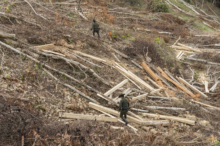 Entre 2015 y 2017, la Policía incautó más de 64.000 metros cúbicos de madera ilegal. Foto: Danilo Canguçu / SEMANA.