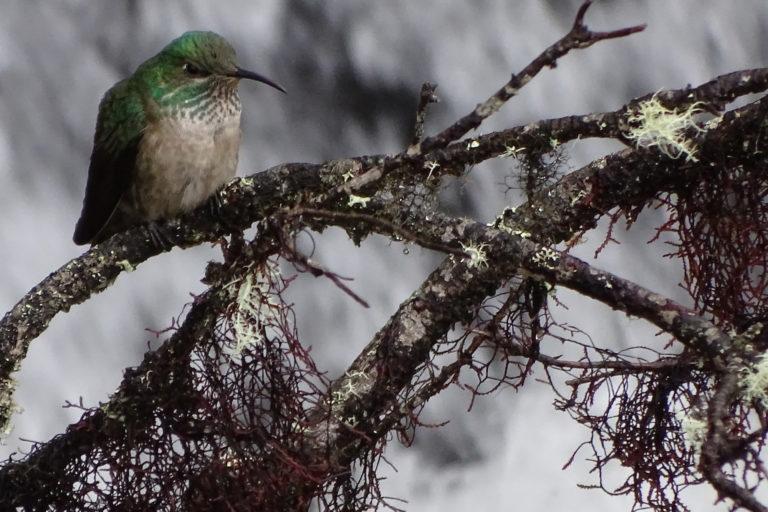 La hembra de la nueva especie de colibrí no muestra los mismos colores que el macho. Foto: Francisco Sornoza