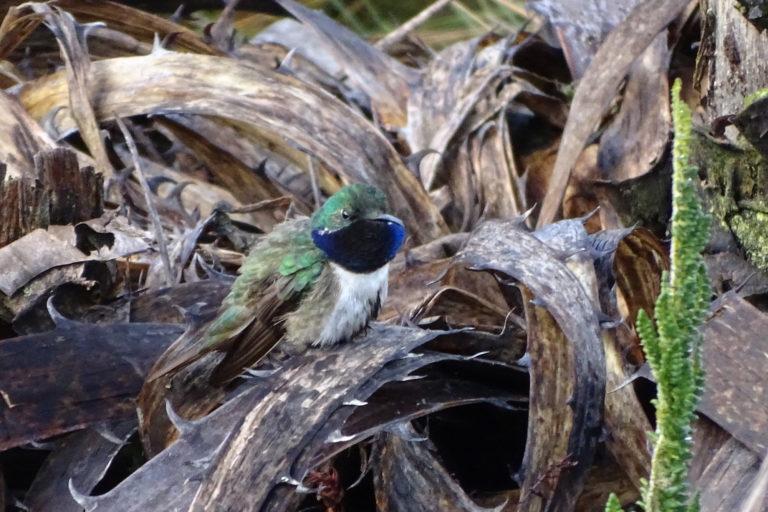 Se calcula entre 250 y 750 individuos la población total de la nueva especie de ave encontrada en Ecuador. Foto: Francisco Sornoza.