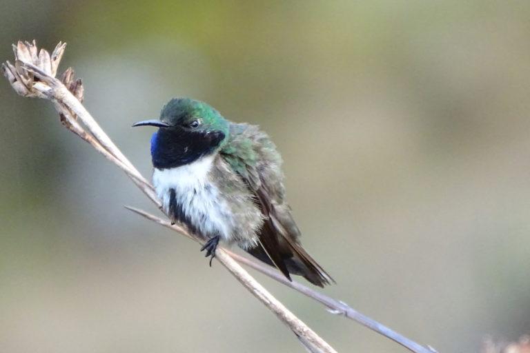 Un macho de la nueva especie estrella de garganta azul posa sobre un pajonal. Créditos: Francisco Sornoza