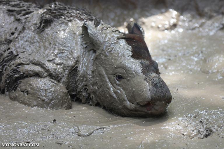 Un joven rinoceronte de Sumatra (Dicerorhinus sumatrensis) disfrutando del lodo. Esta especie es la más pequeña de la familia los rinocerótidos y se encuentra En Peligro Crítico de extinción, según la Unión Internacional por la Conservación de la Naturaleza. Foto: Mongabay Latam