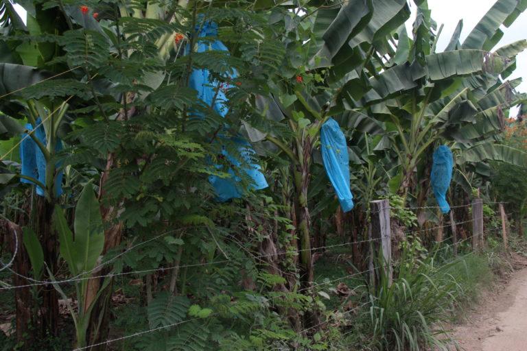 La cosecha de banano tarda de nueve a doce meses luego de la siembra de la planta. Foto: Alejandro Ballesteros.