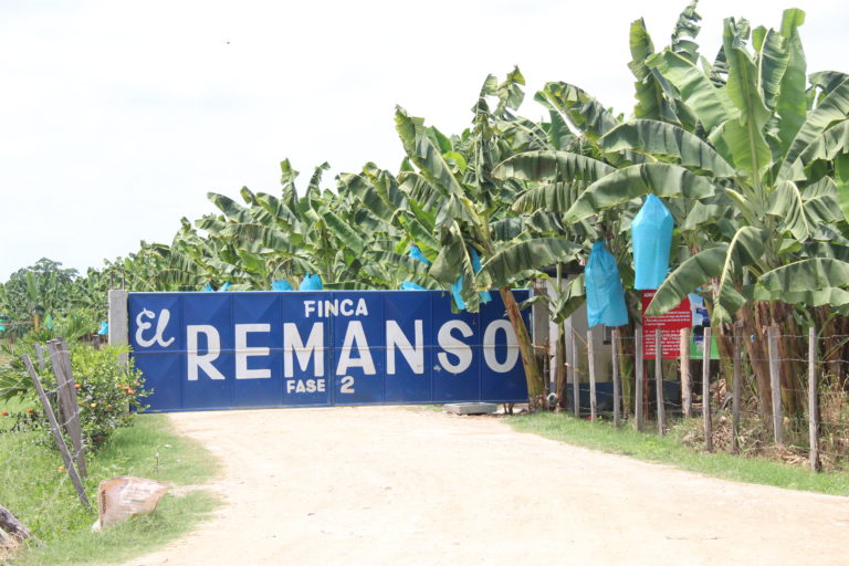 Como esta, son cientos de fincas bananeras en medio de la Ciénaga Grande de Santa Marta. Foto: Alejandro Ballesteros.