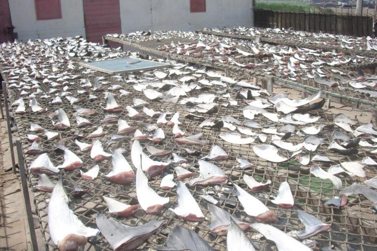Secadero de aletas de tiburón en El Callao, Perú. Foto: Oceana