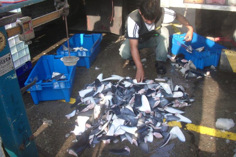 Perú es el principal exportador de aletas de tiburón en Latinoamérica. Foto: Oceana.
