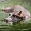 Los hipopótamos pasan la mayor parte del tiempo en el agua. Foto: Fundación Zoológico Santa Cruz.