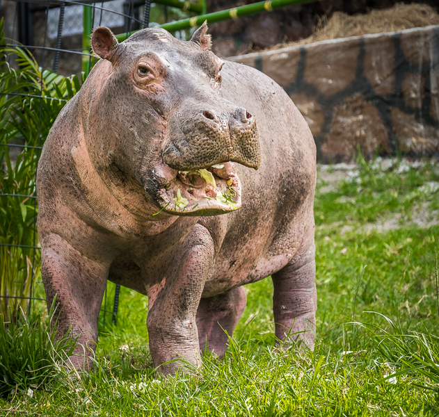 A pesar de su gran tamaño y peso, los hipopótamos son animales herbívoros. Foto: Fundación Zoológico Santa Cruz.