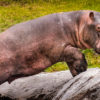 Se estima que en el Magdalena medio antioqueño hay entre 50 y 70 hipopótamos. Foto: Fundación Zoológico Santa Cruz.