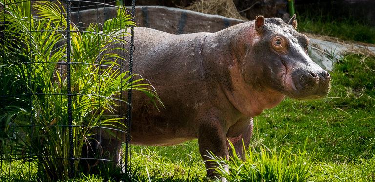 El hipopótamo Raymi es un juvenil que fue atrapado por Cornare y peso aproximadamente 350 kilos. Foto: Fundación Zoológico Santa Cruz.