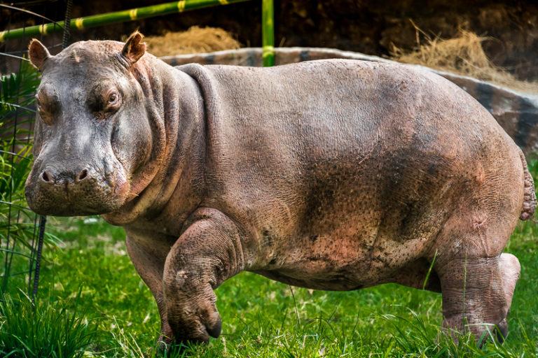 Los hipopótamos que trajo Pablo Escobar en la década de los 80 se han multiplicado y en ocasiones han sido vistos caminando por las calles de algunos pueblos. Foto: Fundación Zoológico Santa Cruz.