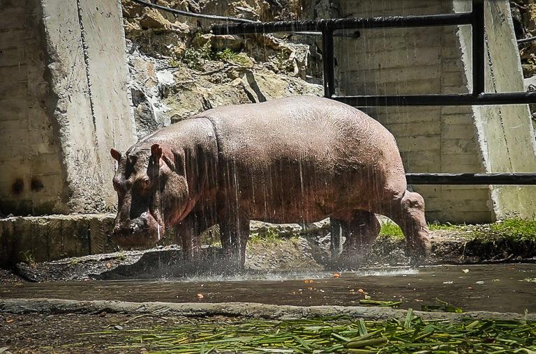 Al ser un animal semiacuático, el hipopótamo debe mantener su piel hidratada constantemente. Foto: Fundación Zoológico Santa Cruz.