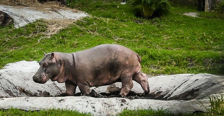 El hipopótamo disfruta al revolcarse en el lodo. Foto: Fundación Zoológico Santa Cruz.