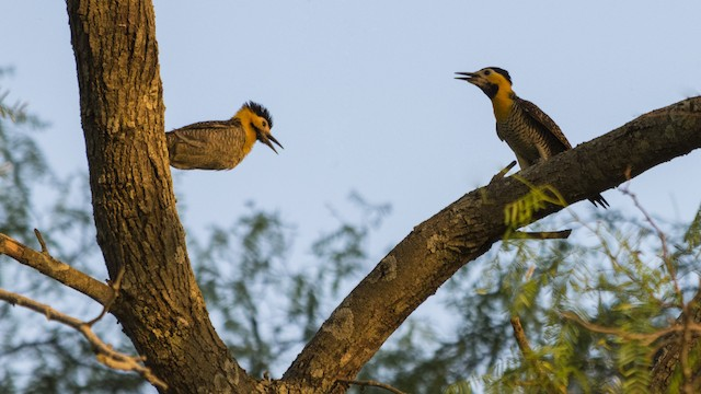 Bolivia registró 854 aves durante el October Big Day. Foto: Carlos Alberto Justiniano Parada / eBird.