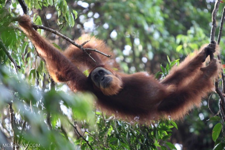 Los orangutanes son una de las especies más afectadas por la pérdida de hábitat ocasionada por el aceite de palma. Foto: Mongabay Latam