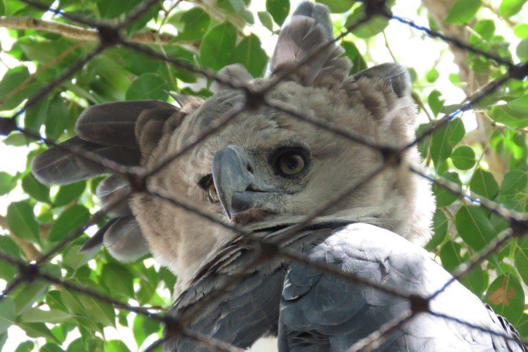 Águila harpía (Harpia harpyja). Foto: María Fernanda Lizcano.