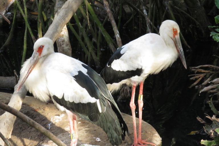 Cigüeña (Ciconia maguari). Foto: María Fernanda Lizcano.