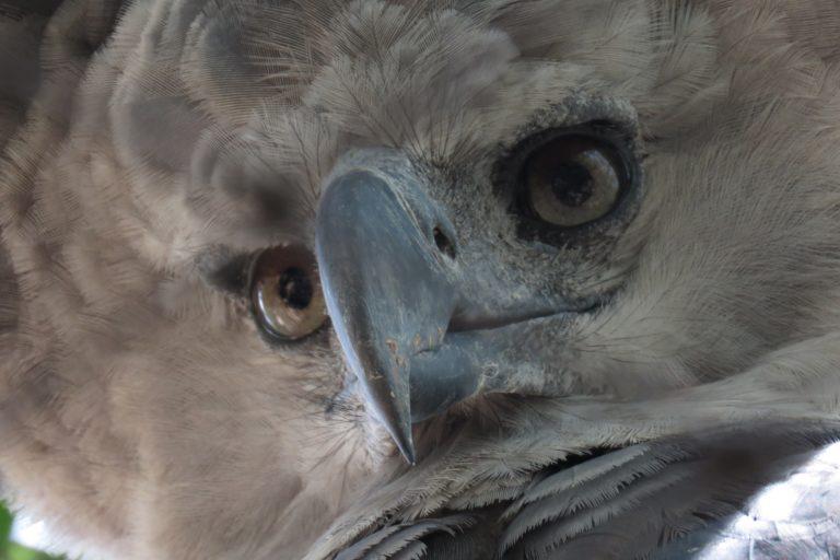 El águila harpía es una de las aves rapaces más fuertes del mundo. Foto: María Fernanda Lizcano.