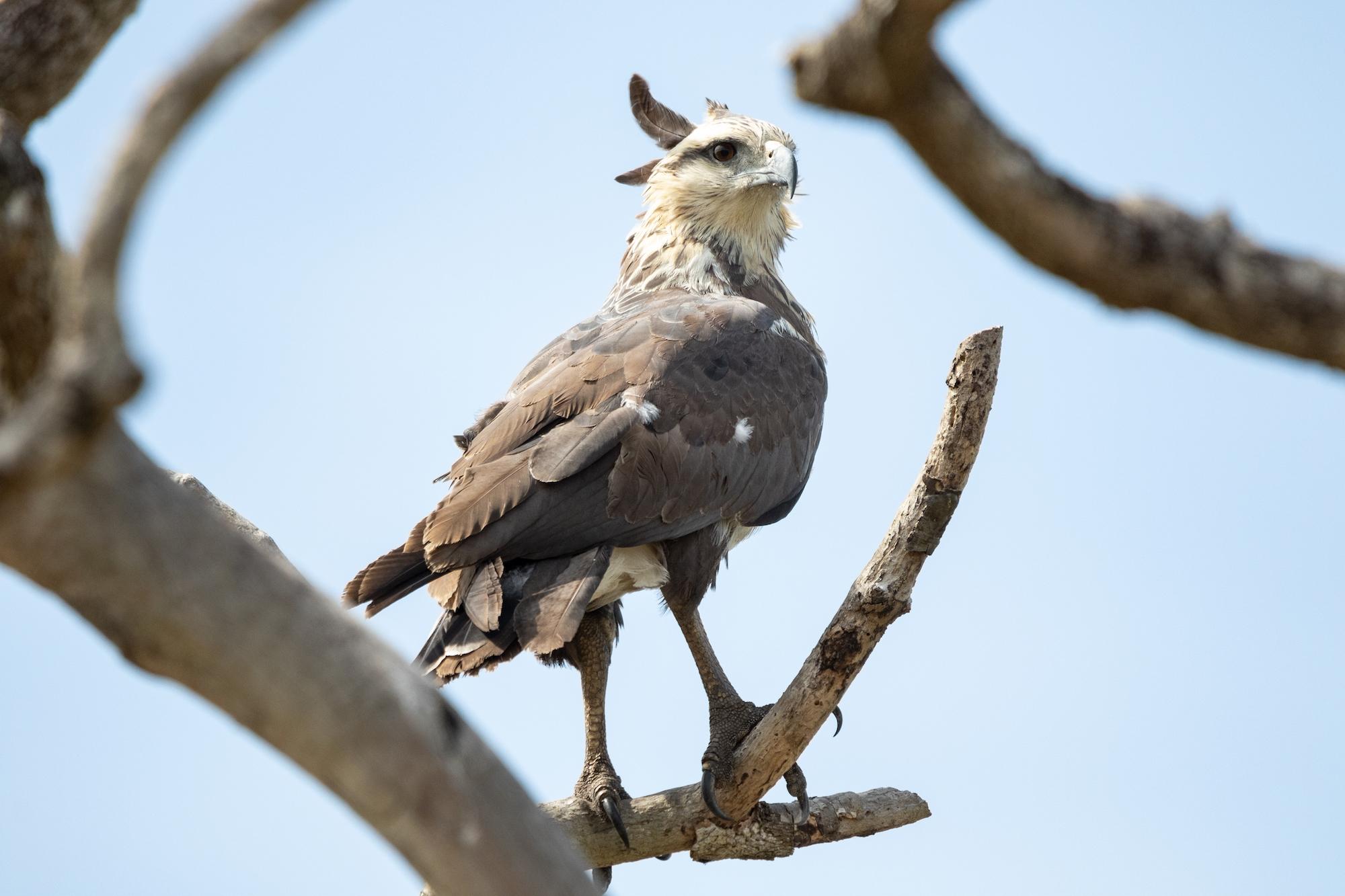 El águila coronada es una especie en peligro de extinción. Aquí un individuo en la Estancia Ecoturística Campamento, en el departamento del Beni. Foto: Fundación para la Conservación de los Loros en Bolivia.