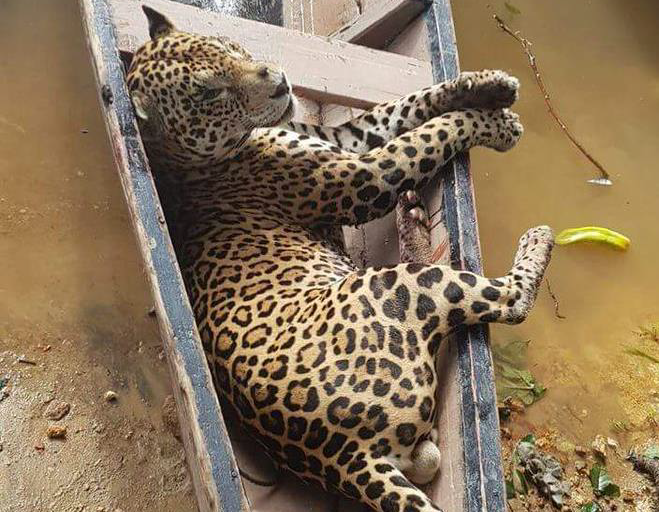 Jaguar fusilado en Surinam es transportado en una canoa. Foto: World Animal Protection.