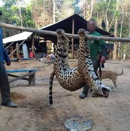 Muchas veces los jaguares son atados y transportados de pueblo en pueblo hasta llega a su destino final. Foto: World Animal Protection.