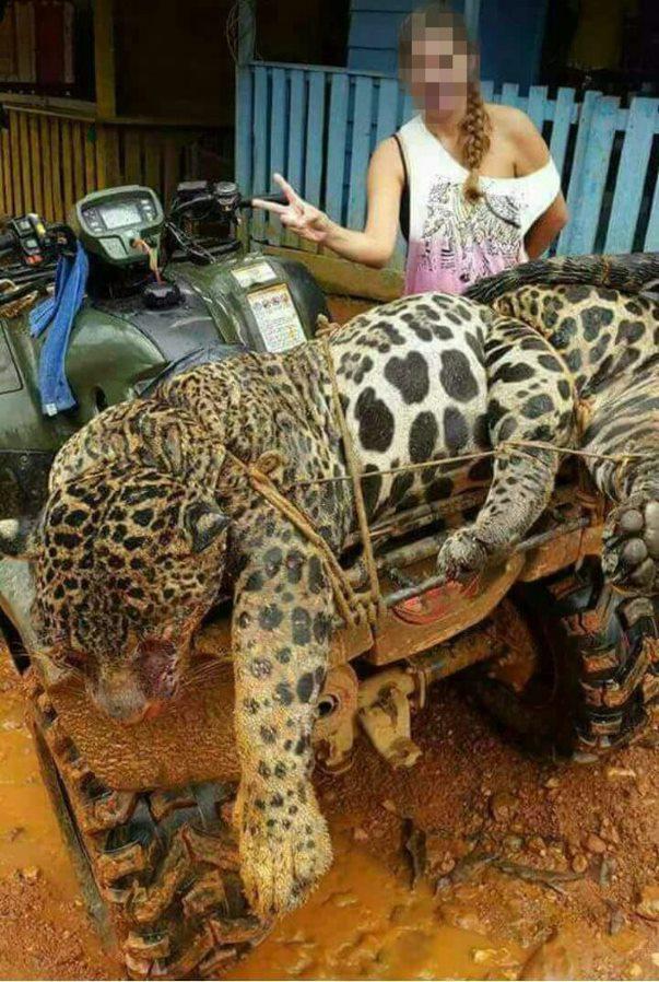 Un jaguar asesinado por un minero de oro, por encargo de clientes chinos, es exhibido como trofeo de cacería. Imagen de febrero de 2018. El jaguar fue asesinado en Surinam, cerca de la frontera con la Guayana Francesa. Foto: World Animal Protection.