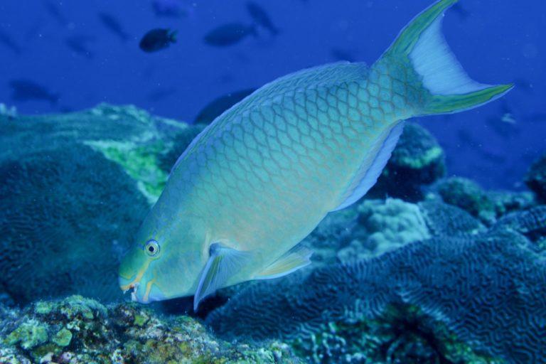 Los peces loro cumplen funciones vitales para los ecosistemas de los arrecifes de coral. Foto: AIDA.
