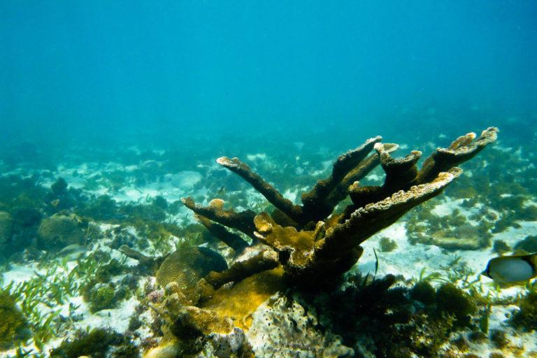 El 60% de los arrecifes del Caribe mexicano se encuentran en estado crítico. Foto: AIDA