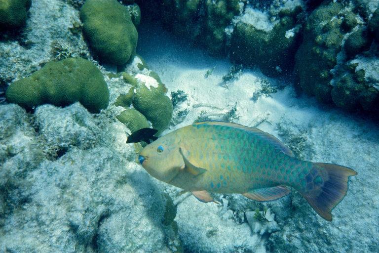 Diez especies de pez loro han sido incluidas en la categoría de Protección Especial. Foto: AIDA.
