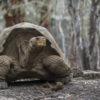 Tortugas gigantes. Foto: Parque Nacional Galápagos