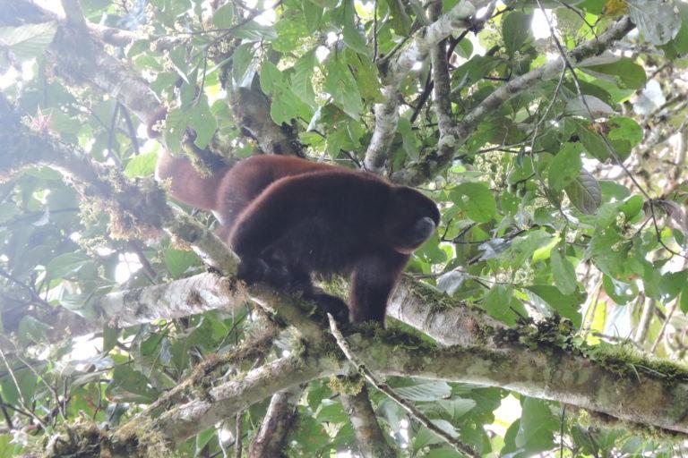 Más de 20 mamíferos, algunos en peligro de extinción, han sido encontrados en la reserva Monte Puyo. Foto: ECOAN.