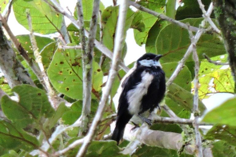 Más de 200 especies de aves se han registrado en los bosques de Monte Puyo. Foto: ECOAN