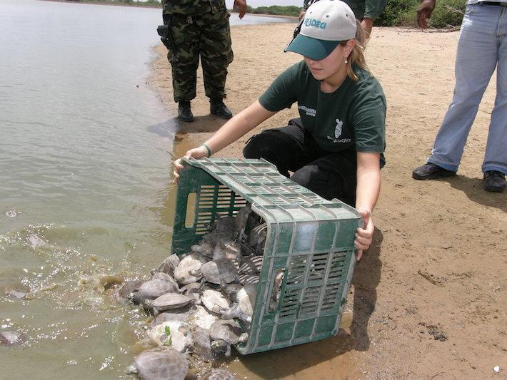 Liberación de tortugas arrau en el Orinoco. Foto: FUDECI.