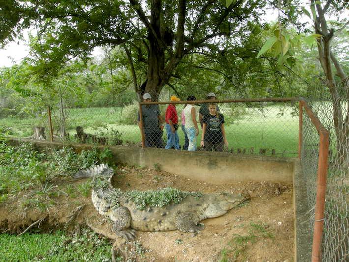 Zoocriadero de caimanes en el Hato Masaragual. Foto: Fudeci.